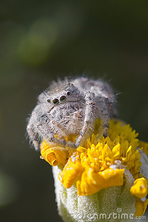 Free Jumping Spider On Yellow Flower Royalty Free Stock Photography - 6716167