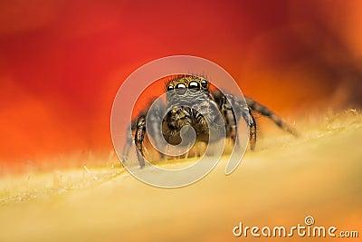 Jumping spider (Phlegra fasciata)
