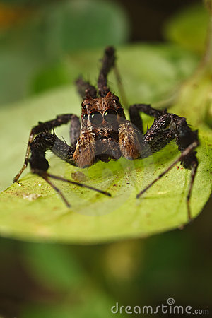 Free Jumping Spider, Portia Stock Photos - 10830173