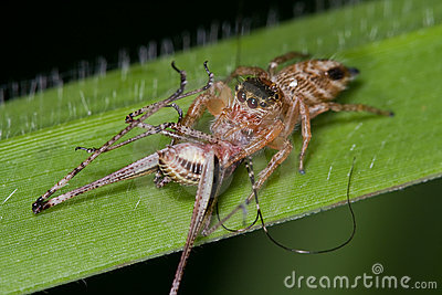 Jumping spider with prey - a cricket