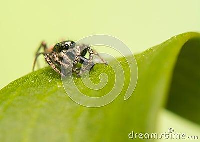 Jumping spider - Salticus scenicus