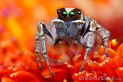 Jumping spider from Turkey 2