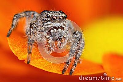 Jumping spider from Turkey 3