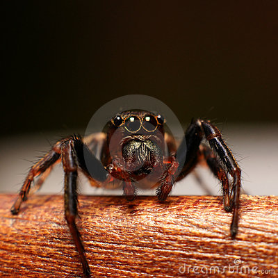 Jumping spider watching you