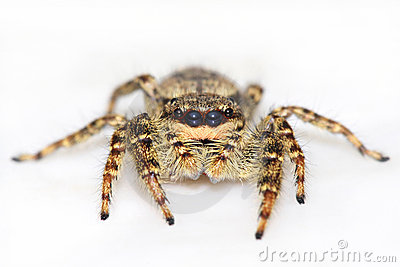 Jumping spider on white