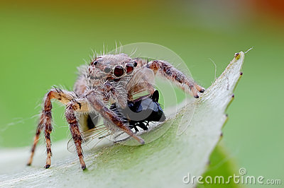 Jumping spiders food