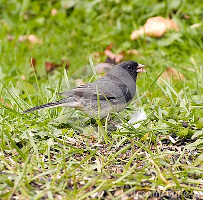 Junco bird on grass