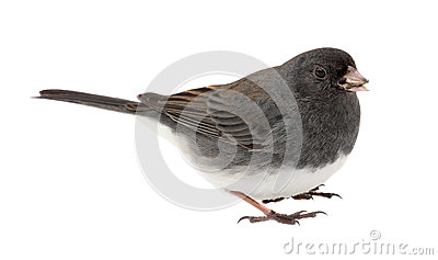 Junco, Junco hyemalis, Isolated