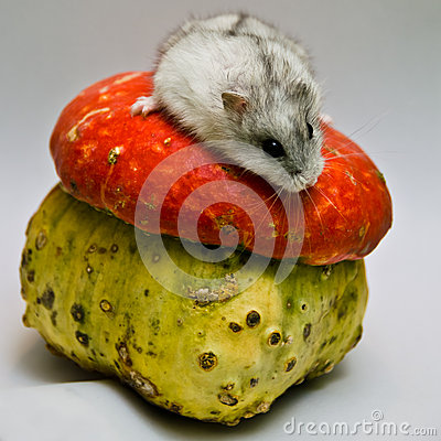 Jungar hamster and unusual pumpkin