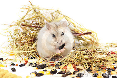 Jungar hamster on a white background