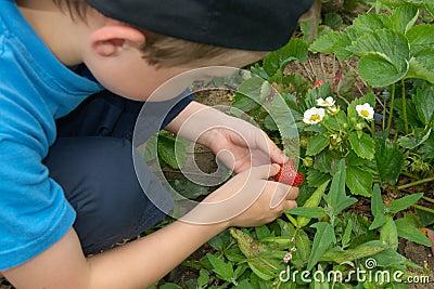 Junge, der Erdbeeren auf Gartenbett aufhebt