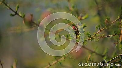 Junge Fichte knospt Blüte auf Niederlassung einer Koniferenbaumnahaufnahme stock footage