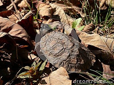 Junge hölzerne Schildkröte 05