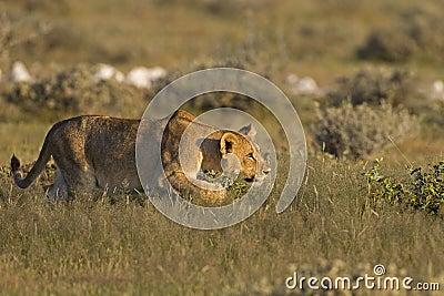 Junge Löwin, die ihr Opfer anpirscht