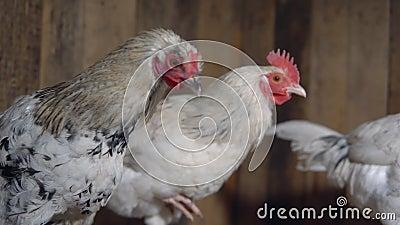 Junge pickelige Hennen im Hühnerstall stock video