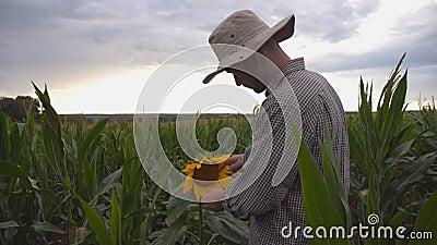 Junglandwirte, die auf dem Maisfeld im Bio-Betrieb mit nur einer Sonnenblume behutsam umgehen Männlicher Arbeitnehmer auf Maispla stock footage