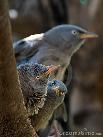 Jungle babbler.