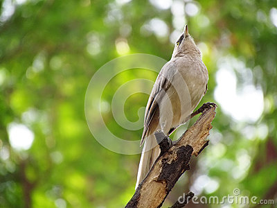 Jungle babbler bird majestic perched