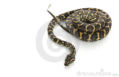Jungle Carpet Python