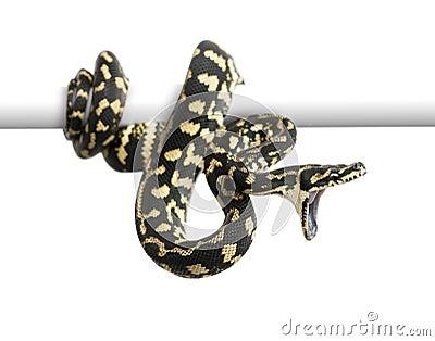 Jungle carpet python attacking