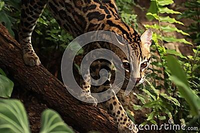 Jungle Feline