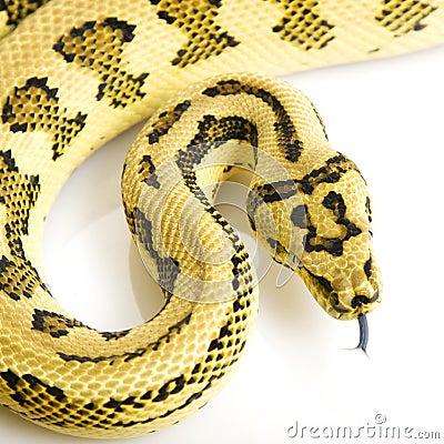 Royalty Free Stock Photo: Jungle Jaguar Carpet Python.