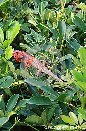 Free Jungle Lizard Stock Photo - 19836730
