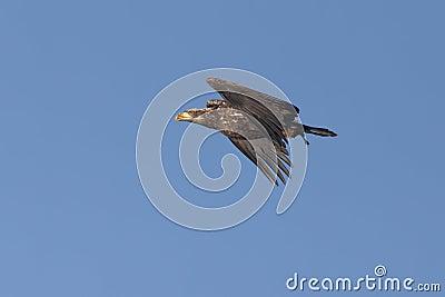 Junior eagle in the sky.