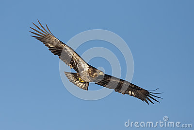 Junior eagle with wings spread.