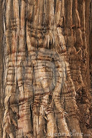 Free Juniper Bark Stock Photo - 12498150