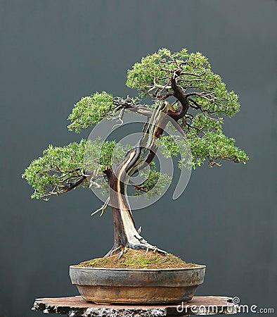 Free Juniper Bonsai Stock Photo - 1684790