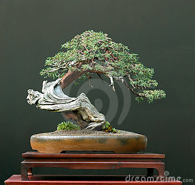 Free Juniper Bonsai Stock Photos - 2761993