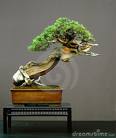Free Juniper Bonsai, American Stock Photo - 1391790