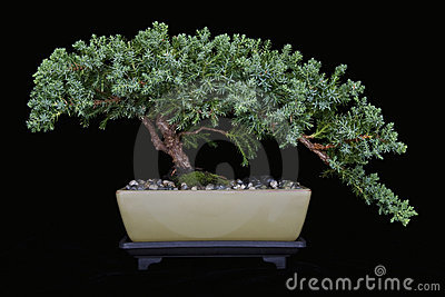 Juniper Bonsai on Black No 1