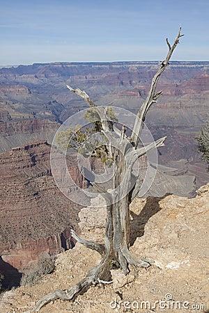 Juniper and Grand Canyon