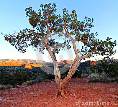 Free Juniper Tree Royalty Free Stock Photo - 28669105