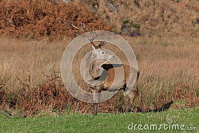 Jura fotograferade den scotland fullvuxen hankronhjort