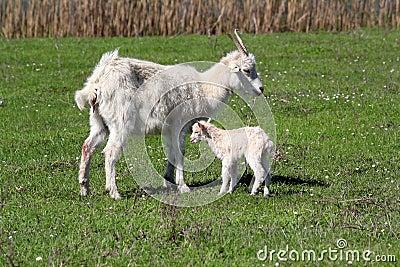 Just born little goat
