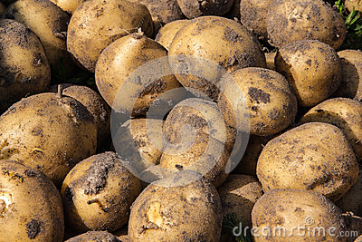 Just dug fresh potatoes