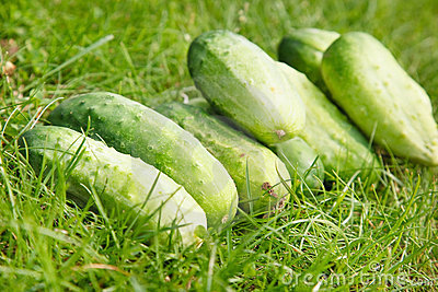 Just picked fresh organic cucumbers