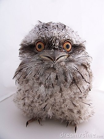 Juvenile Australian Tawny Frogmouth - Isolated