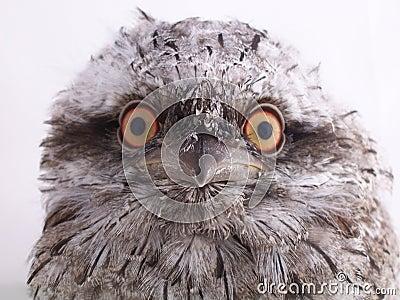 Juvenile Australian Tawny Frogmouth - Portrait