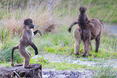 Juvenile baboon standing upright