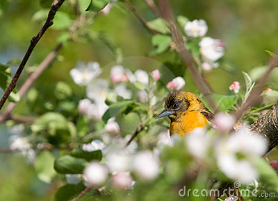 Juvenile Baltimore Oriole and Apple Blossoms