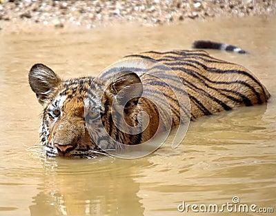 Juvenile bengal tiger swimming,thailand,asia cat