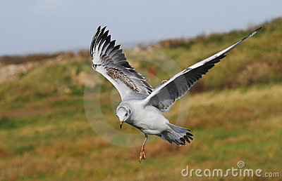 Juvenile Black headed gull(Larus ridibundus)