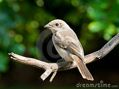 Juvenile common fiscal shrike fledgling