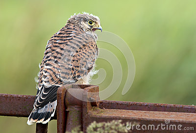 Juvenile common Kestrel
