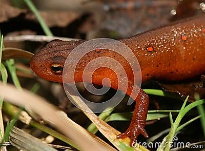 Juvenile Eastern Newt or Red Eft