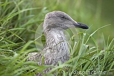 Juvenile European Herring Gull (Larus argentatus)